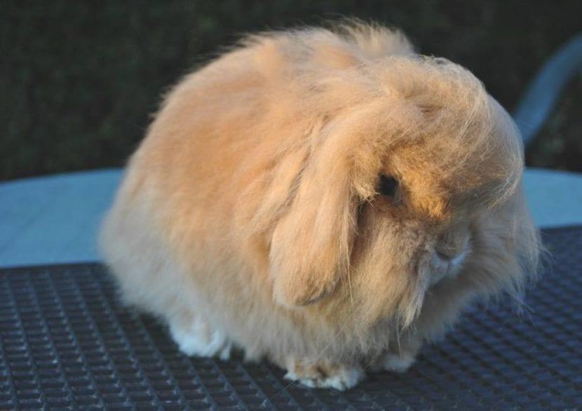 El conejo mini lion lop es un peludo muy tranquilo.