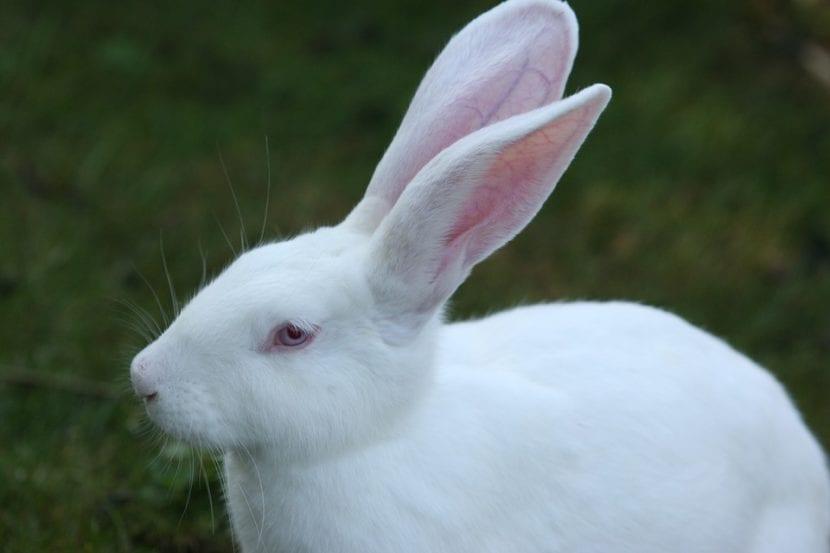 Los conejos blancos son unos peludos muy queridos