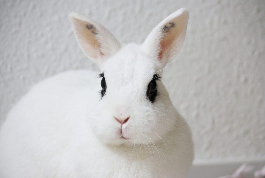 El conejo blanco de Hotot tiene bandas negras alrededor de los ojos