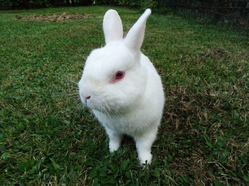 El conejo blanco puede comprarse en tiendas de animales, o adoptarse en un refugio de animales