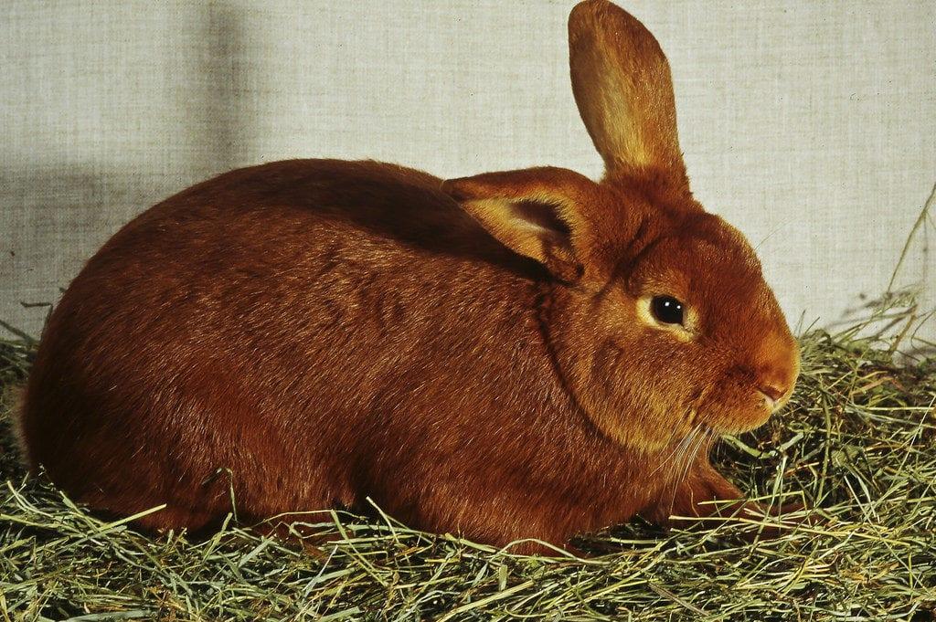 Vista del conejo Fauve de Bourgogne