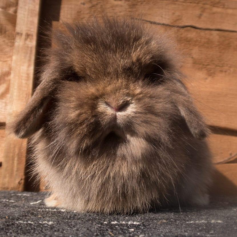 Vista de un ejemplar de conejo mini lion lop