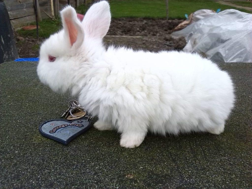 El conejo de Nueva Zelanda puede tener el pelaje blanco