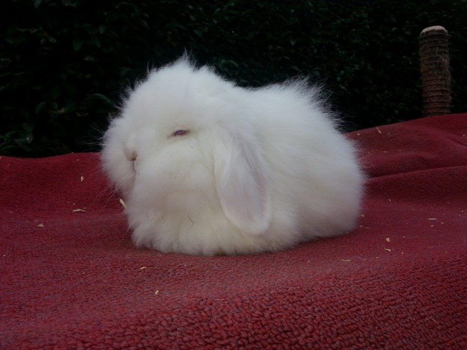 Los conejos mini lion lop son adorables