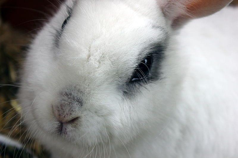 El conejo toy o enano es muy bonito