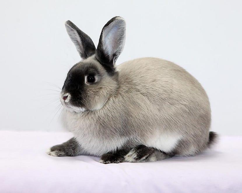 Características del conejo perlado