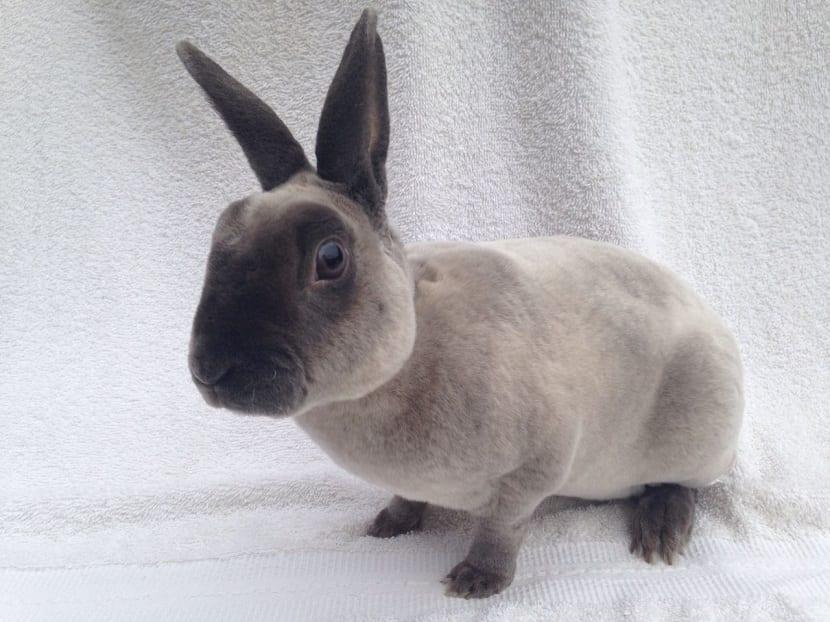 Comportamiento del conejo perlado