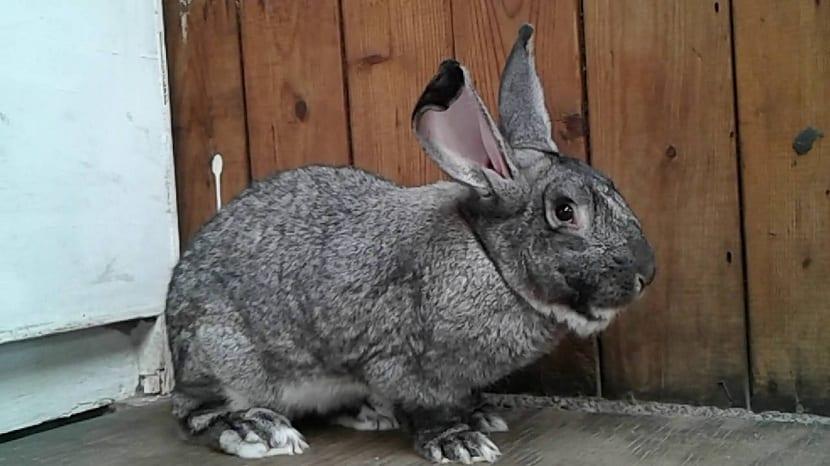 Conejo de Flandes gris