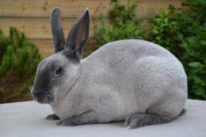 Conejo perlado