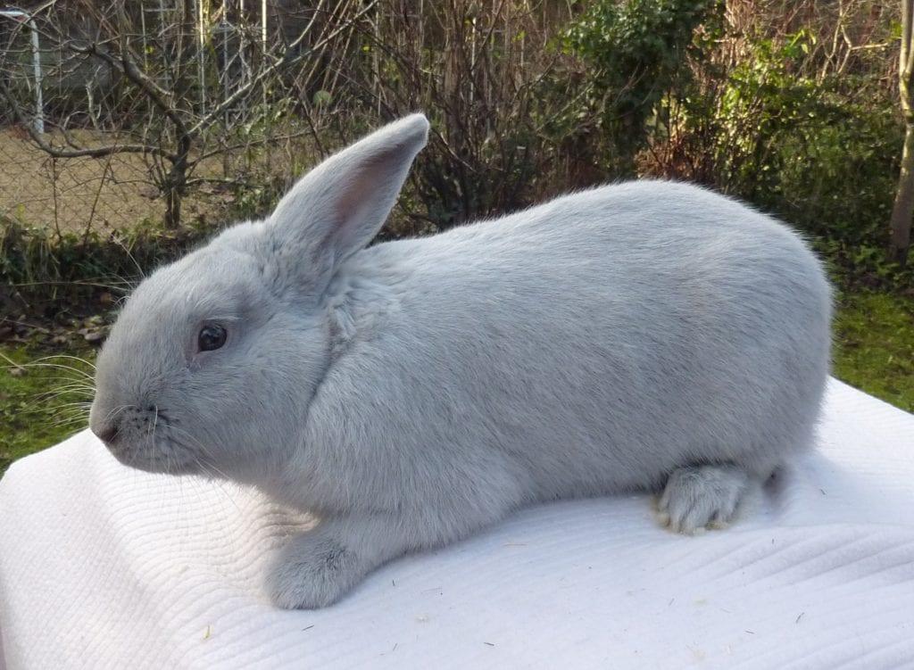 El beveren es un conejo que puede tener el pelaje azul