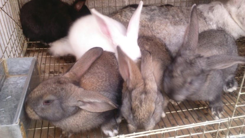 camada de conejos gigantes