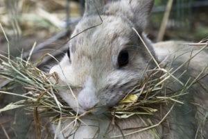 El heno es el principal alimento del conejo