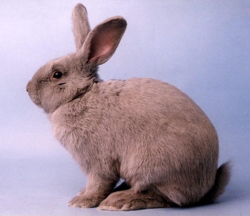 El conejo Beveren es un animal muy sociable