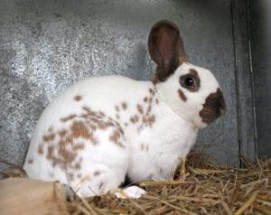 El conejo inglés adulto es un animal relativamente pequeño
