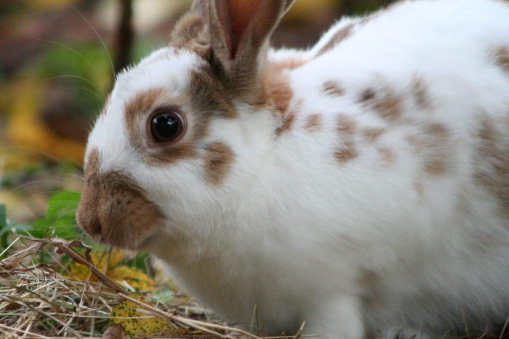 El conejo inglés es un simpático peludo