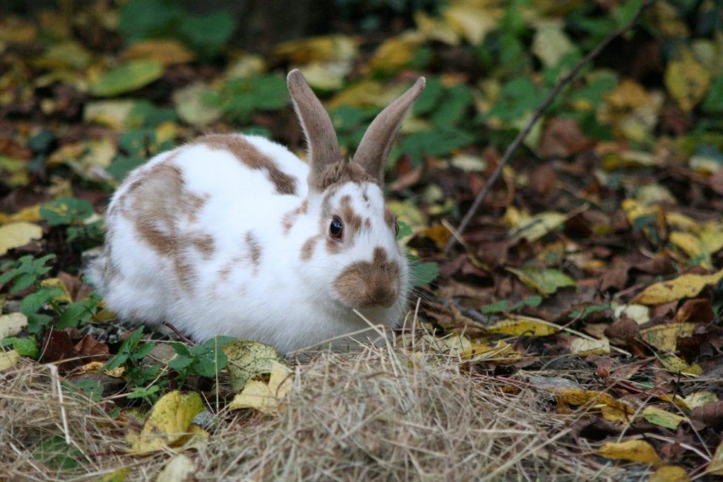 El conejo inglés puede estar en un recinto en el jardín