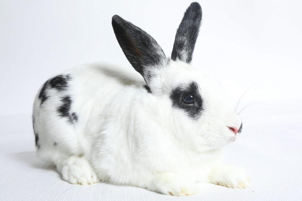 El conejo inglés puede ser chocolate o negro