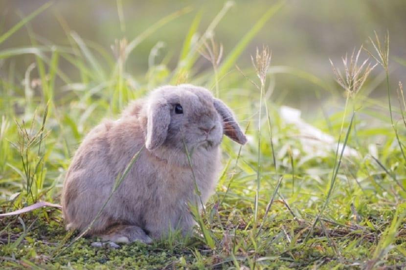 conejo lop en la naturaleza