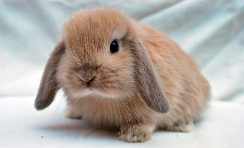 conejo lop marrón