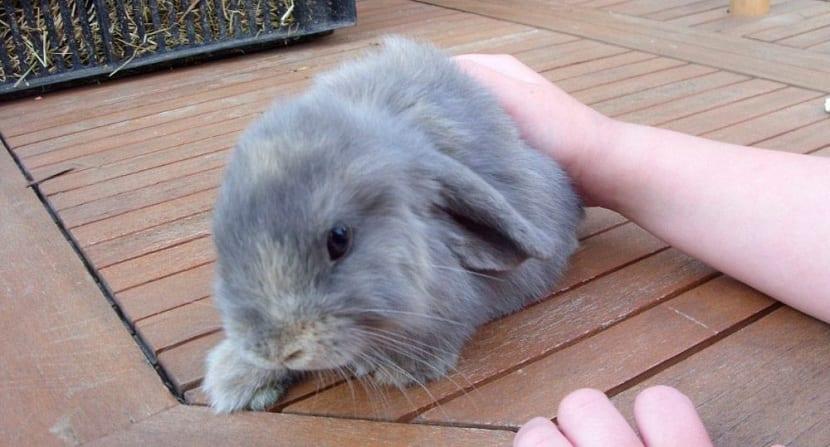 conejo lop