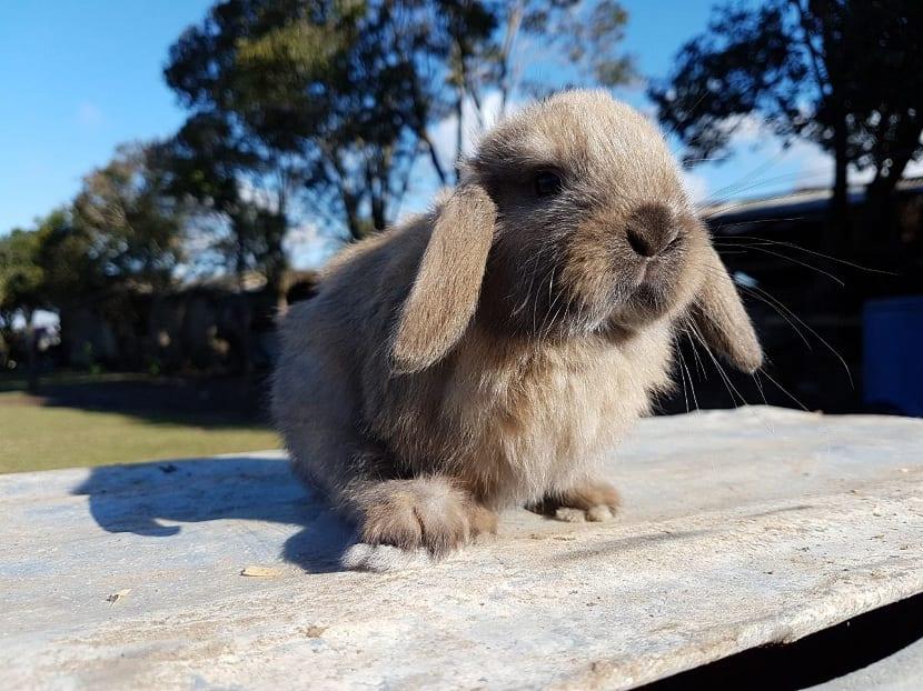 conejo marron lop