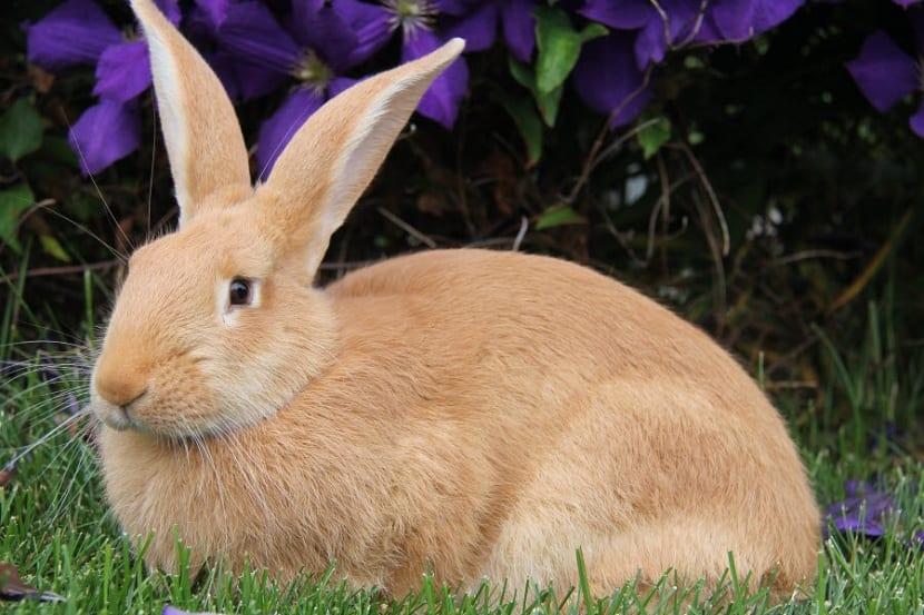 conejo palomino en exteriores