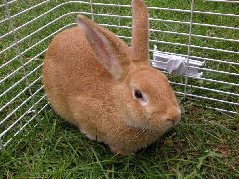 conejo palomino en jaula