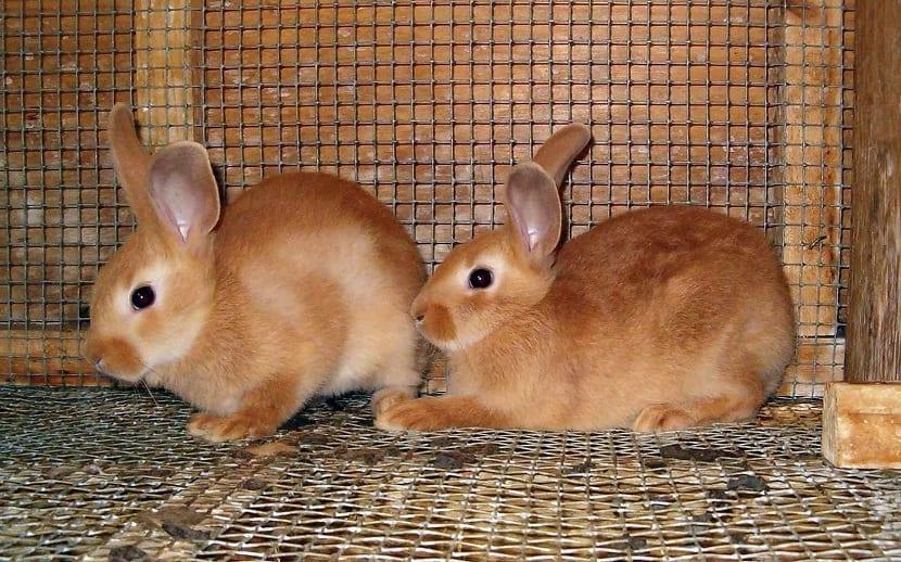 conejo palomino pequeño