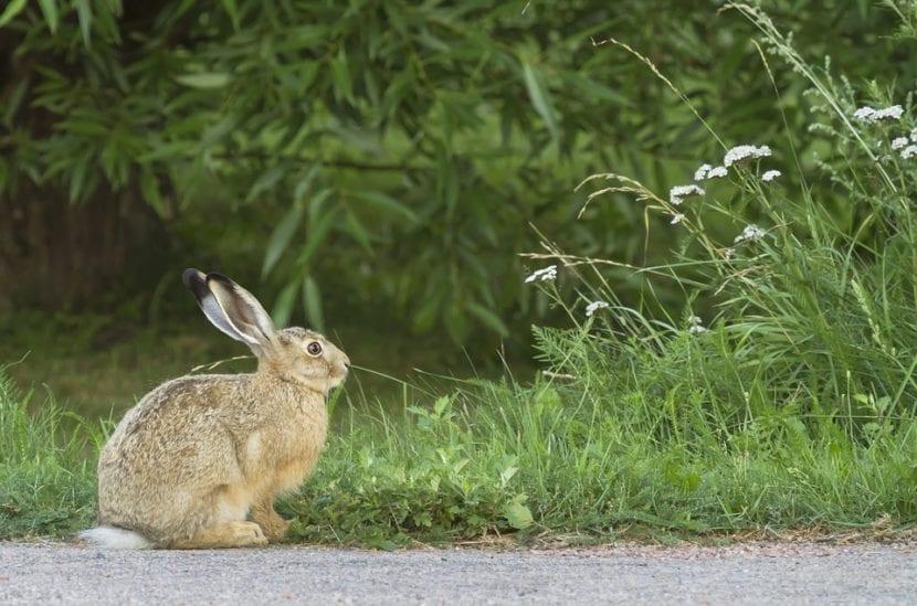 Los conejos comen heno