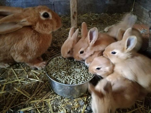 Los conejos leonados de Borgoña son unos animales muy curiosos