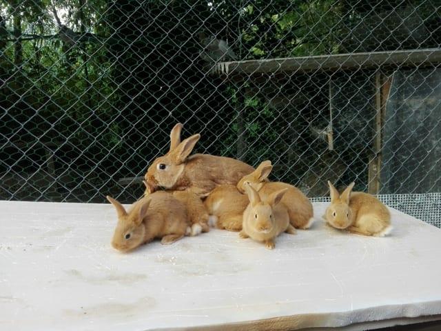 Los conejos leonados de Borgoña son fáciles de mantener