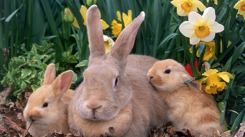 crias de conejo palomino