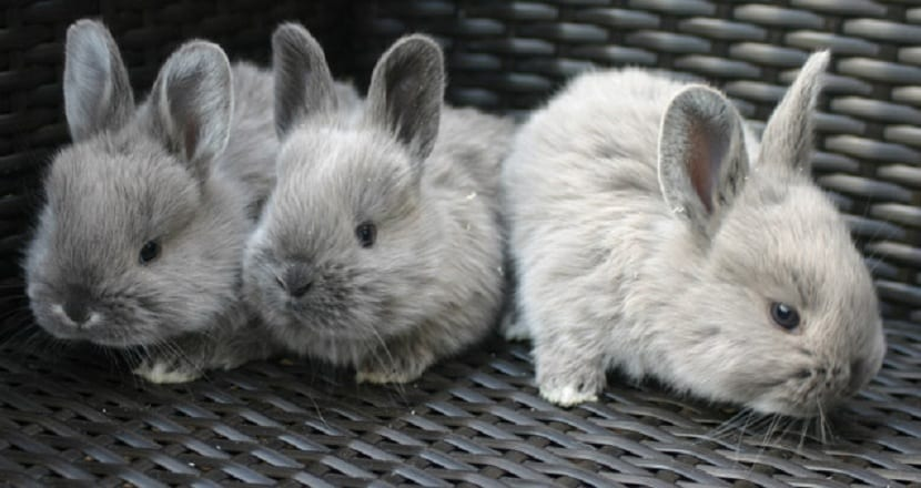 crias de conejo perlado