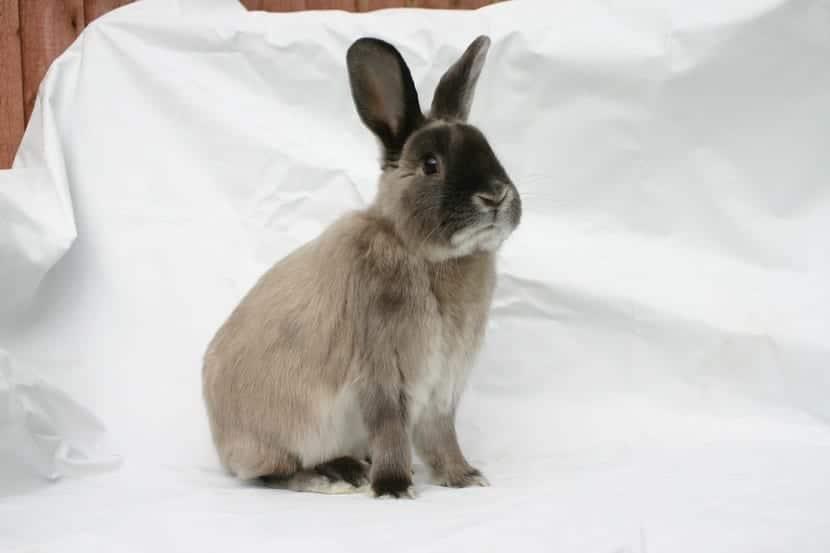 cuidados del conejo perlado