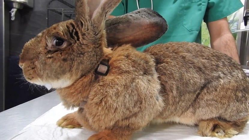 cuidados en el veterinario para el conejo gigante de Flandes