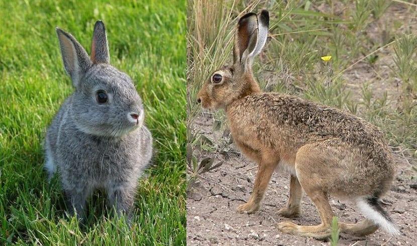 diferencias entre conejos y liebres