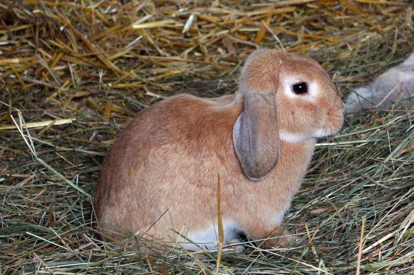 La paja sirve como cama del conejo