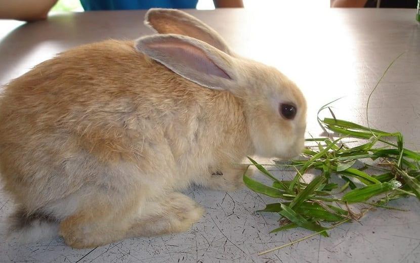 hierba para conejos