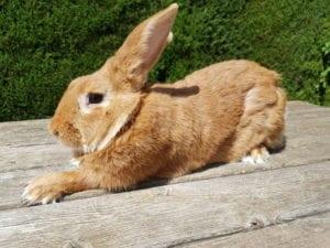 El conejo leonado de Borgoña puede ser un buen compañero