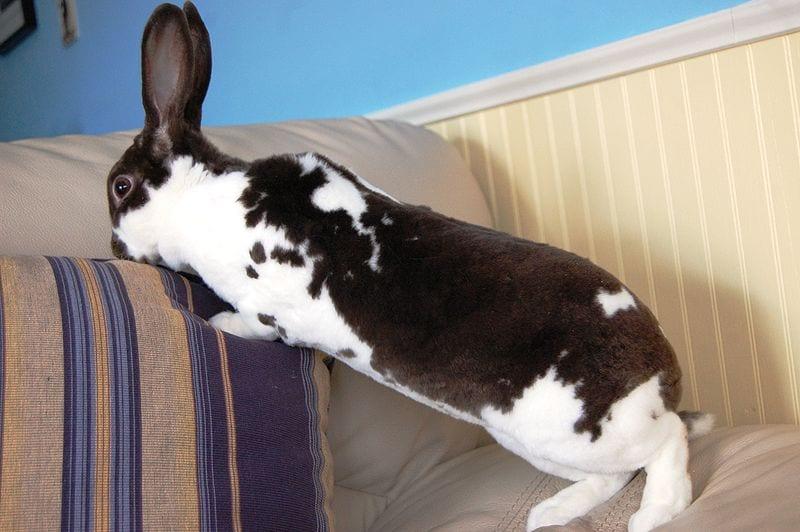 El conejo mini rex ha de hacer vida por casa