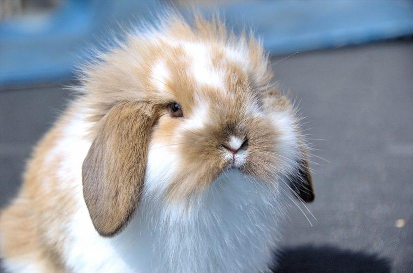 El conejo es un animal que puede ser muy cariñoso