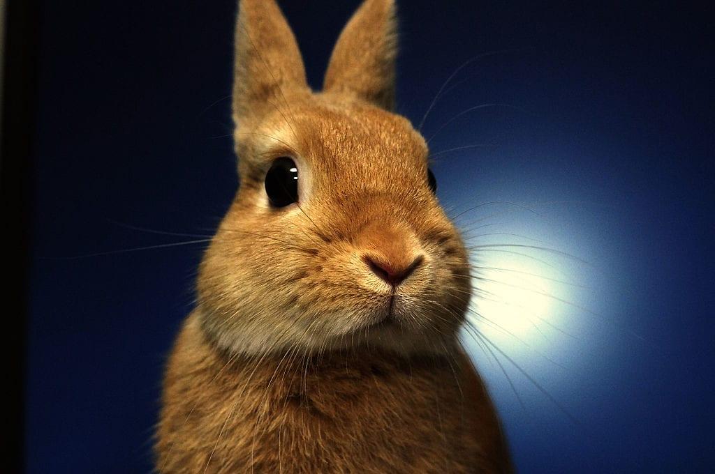 El conejo holandés enano puede tener el pelaje de una gran variedad de colores