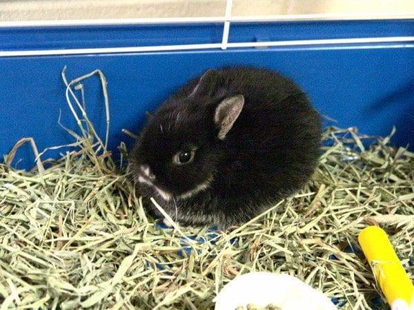 El conejo holandés enano puede tener el pelo negro