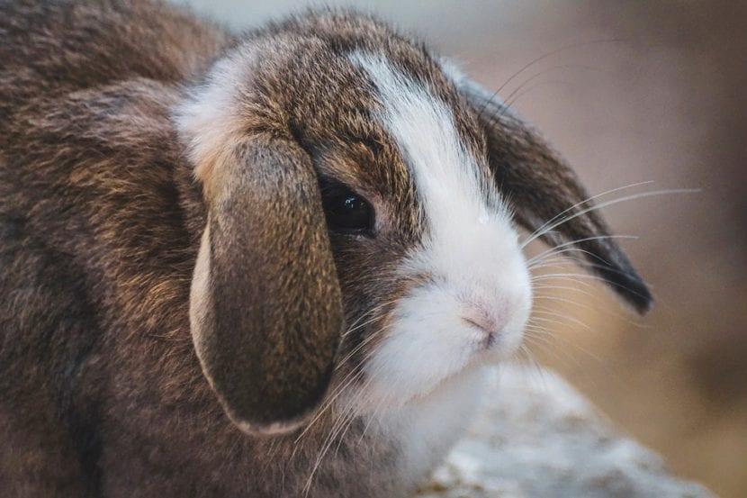 Si le das una alimentación adecuada, el conejo vivirá bien años
