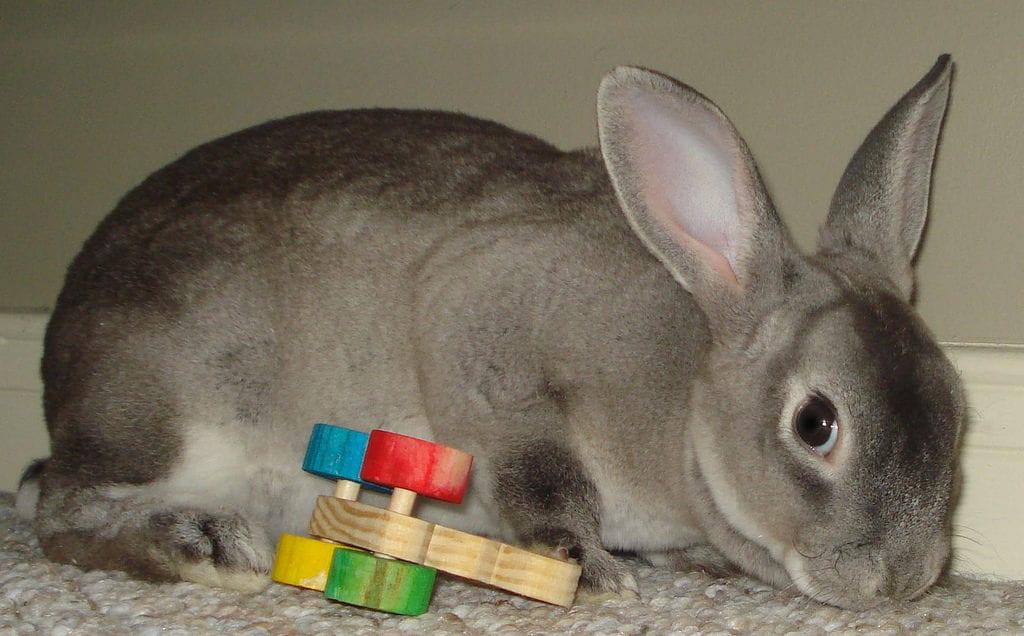 El conejo mini rex puede tener el pelo de distintos colores