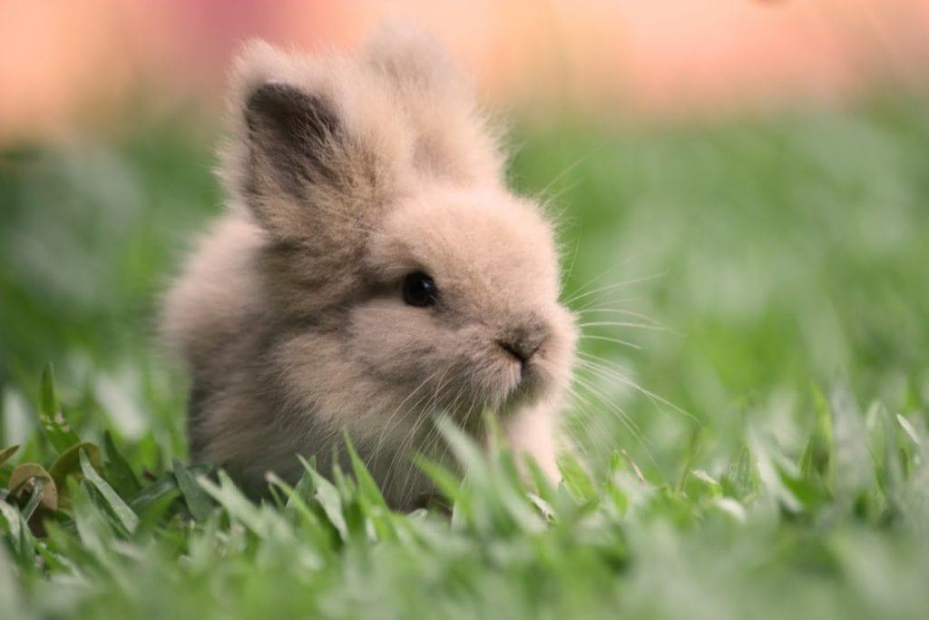El conejo teddy es una raza enana adorable