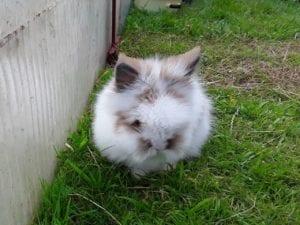 El conejo Teddy es una raza enana que no supera los 2kg