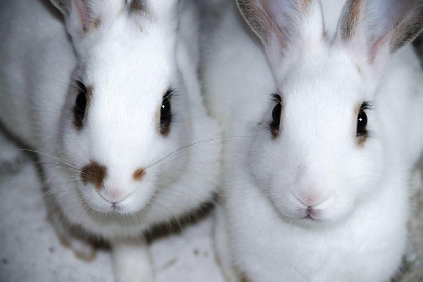 Los conejos viven mejor en grupos