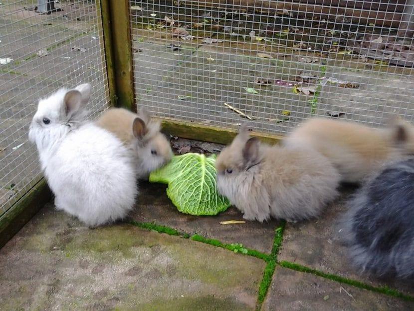 Los conejos Teddy son muy pequeños