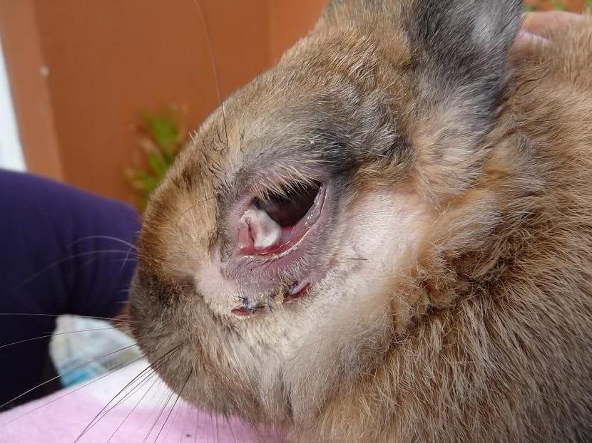 enfermedades en los ojos de conejos
